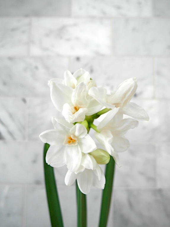 Paperwhites in full bloom, which now fill our kitchen